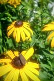 Black eyed Susan with insect stock photos