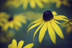 Black Eyed Susan. Macro lens shot of Black Eyed Susan flower Stock Photo