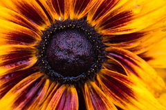 Black Eyed Susan Royalty Free Stock Images