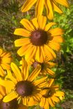 Black Eyed Susan. Members of the Sunflower family, the `black-eye` is named for the dark brown-purple centers in the middle of it`s daisy like flowers made up of Stock Photography