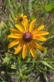 Black Eyed Susan. Members of the Sunflower family, the `black-eye` is named for the dark brown-purple centers in the middle of it`s daisy like flowers made up of Stock Photo