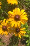 Black Eyed Susan. Members of the Sunflower family, the `black-eye` is named for the dark brown-purple centers in the middle of it`s daisy like flowers made up of Royalty Free Stock Photos