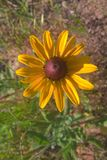 Black Eyed Susan. Members of the Sunflower family, the `black-eye` is named for the dark brown-purple centers in the middle of it`s daisy like flowers made up of Stock Photos