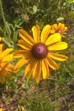 Black Eyed Susan. Members of the Sunflower family, the `black-eye` is named for the dark brown-purple centers in the middle of it`s daisy like flowers made up of Stock Images