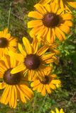 Black Eyed Susan. Members of the Sunflower family, the `black-eye` is named for the dark brown-purple centers in the middle of it`s daisy like flowers made up of Royalty Free Stock Images