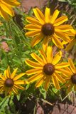 Black Eyed Susan. Members of the Sunflower family, the `black-eye` is named for the dark brown-purple centers in the middle of it`s daisy like flowers made up of Royalty Free Stock Image