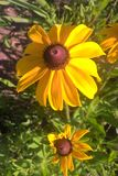 Black Eyed Susan. Members of the Sunflower family, the `black-eye` is named for the dark brown-purple centers in the middle of it`s daisy like flowers made up of Stock Image