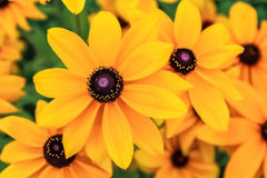 Free Black Eyed Susan, Rudbeckia Flowers. Royalty Free Stock Images - 98395619