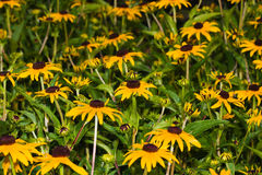 Black-eyed Susan (Rudbeckia hirta) Stock Photos