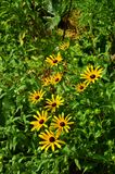 Black-eyed Susan (Rudbeckia hirta) Royalty Free Stock Photo