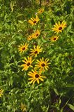 Black-eyed Susan (Rudbeckia hirta) Royalty Free Stock Photos