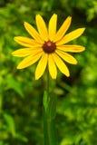 Black-eyed Susan - Rudbeckia hirta. Close up of a yellow Black-eyed Susan flower. Rouge National Urban Park, Toronto, Ontario, Canada Stock Photography