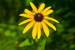 Black-eyed Susan - Rudbeckia hirta. Close up of a yellow Black-eyed Susan flower. Todmorden Mills, Toronto, Ontario, Canada Stock Images