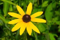 Black-eyed Susan - Rudbeckia hirta. Close up of a yellow Black-eyed Susan flower. Todmorden Mills, Toronto, Ontario, Canada Royalty Free Stock Photography