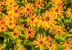 Black Eyed Susan. Rudbeckia hirta, commonly called black-eyed Susan, is a North American flowering plant in the sunflower family, native to Eastern and Central stock photography