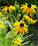 Black-eyed Susan Royalty Free Stock Photography