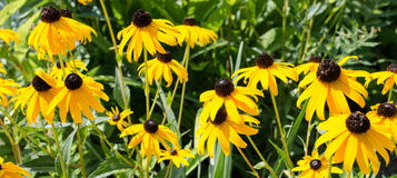 Black-eyed Susan Stock Photos