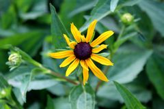 Black-eyed Susan or Rudbeckia hirta plant with bright yellow flower with black center surrounded with thick dark green leaves. Black-eyed Susan or Rudbeckia royalty free stock images