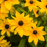 Black Eyed Susan, Rudbeckia hirta, red and yellow flowers close-up, selective focus, shallow DOF Royalty Free Stock Images