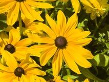 Black Eyed Susan, Rudbeckia hirta, yellow flowers close-up, selective focus, shallow DOF Stock Image