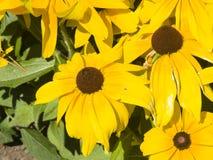 Black Eyed Susan, Rudbeckia hirta, yellow flowers close-up, selective focus, shallow DOF Royalty Free Stock Photos