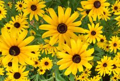 Black eyed Susan`s in a garden. A multitude of black eyed Susan`s in a summer garden in Maine royalty free stock image