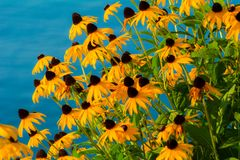 Black-eyed Susan`s with a watery backdrop Royalty Free Stock Images