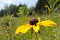 Black-Eyed Susan from the Side stock photography