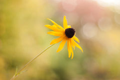 Black-Eyed Susan Soft and Shallow - Side View stock images
