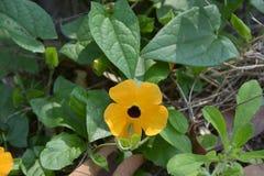 Black Eyed Susan Vine flowers stock photos