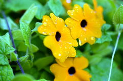 Black-eyed Susan vine with raindrops. Closeup of Black-eyed Susan vine with raindrops Stock Photo