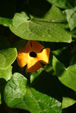 Black-eyed Susan vine Stock Photo