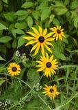 Black Eyed Susan, Wildflower. Taken in a Michigan park Royalty Free Stock Photo