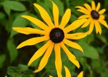 Black Eyed Susan, Wildflower. Taken in a Michigan park Stock Image