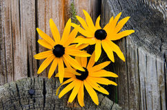 Black-eyed Susan in wood piling Stock Photography