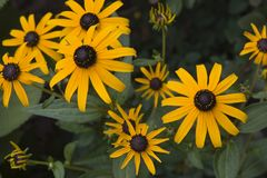 Black-Eyed Susans. A couple of Good Places to Add Text royalty free stock photos