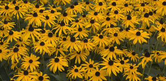 Black Eyed Susans Stock Images