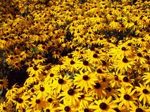 Black-eyed Susans Stock Photo