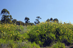 Black-Eyed Susans. Against a tree line Royalty Free Stock Photography