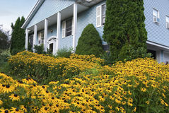 Black Eyed Susans Stock Photography