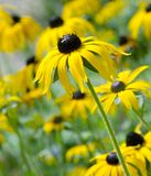 Black Eyed Susans. Large group of Rudbeckia or Black-eyed susan flowers in a herbaceous border on a bright sunny day royalty free stock photo
