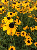 Black-Eyed Susans Stockfoto
