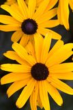 Black eyed susans. A couple of black eyed susan flowers Royalty Free Stock Photos