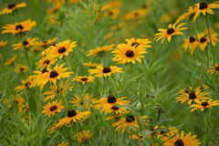 Black-Eyed Susans. Field of Black-Eyed Susans Stock Photos