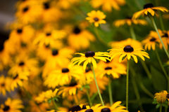 Black Eyed Susans. A beautiful grouping of black eyed susan flowers Stock Image