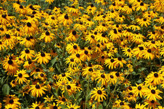 Black eyed susans blooms Royalty Free Stock Photos