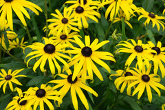 Black-eyed Susans. The bright yellow Black-eyed Susans field Royalty Free Stock Image