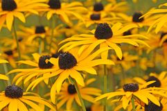 Black-eyed susans. Close up to flowerbed in summer garden with yellow coneflowers Stock Photography