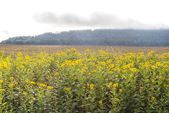 Black-eyed Susans and a Misty Morning Stock Images