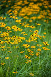 Black Eyed Susans Stock Photo